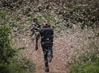 Brutális sáskajárás van Kenyában és félő, hogy nem állnak meg