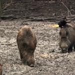 Milliárdok mentek a vaddisznók leölésére, mégis megállíthatatlan a sertéspestis