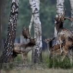 Fotók: Dámszarvasok üzekedtek a barcsi erdőben