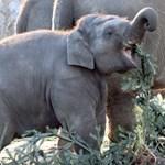 A nap képe: kiselefánt eszi a kidobott karácsonyfát