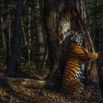 Egy fát ölelő tigris szerepel az év természetfotóján