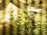Miközben szavazgatunk, több tízmillió értékű marihuánát foglaltak le a rendőrök