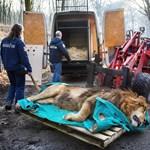 Ez az ájult oroszlán Magyarországon fog élni ezután – fotók