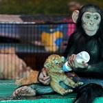 Kedvessé teszi a majmokat is az oxitocin