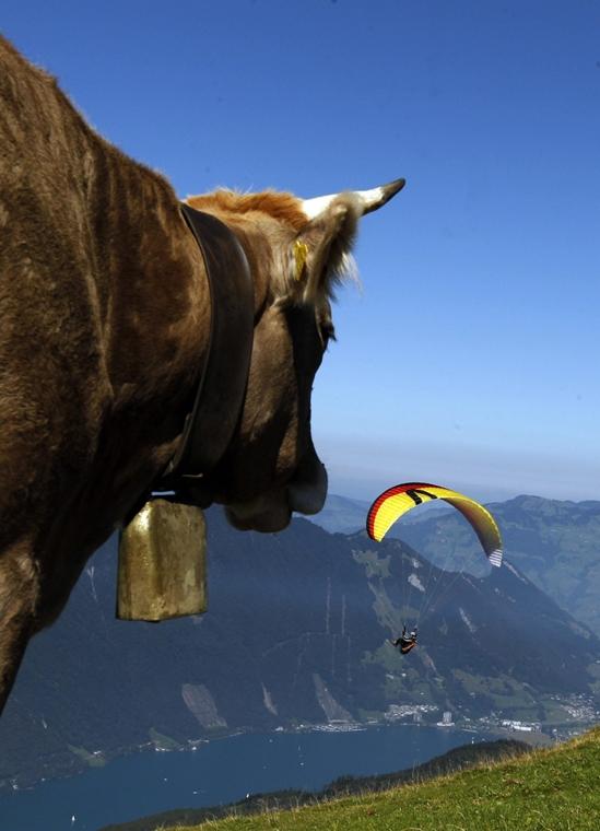 Svájc - helybéli tehén figyel egy siklórnyőst Niederbauen közelében a Luzerni-tónál - Hét képei - nagyítás