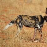 Kifárasztó ragadozás: 64 km/h sebességgel fut az afrikai vadkutya