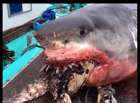 Teknős szorult a hatalmas cápa szájába, el is pusztult miatta – fotók