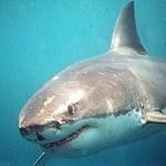 Búvárt ölt meg egy cápa a népszerű ausztrál merülőhelyen