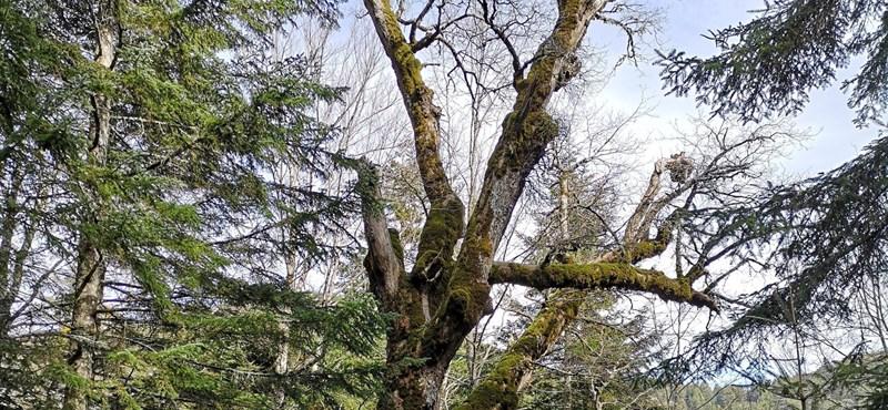 Azt hitték, egy tölgyfa legfeljebb 300 évig él – aztán találtak egy 934 éveset