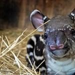 Nevet keresnek a cuki veszprémi tapírbébinek - fotók