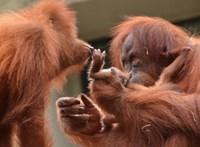 Online szavazáson dől el, milyen nevet kapjon a budapesti orangután