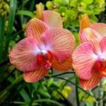 Kertész tippek - Hogyan neveljünk otthon orchideát?