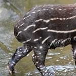 A borús időben is megmelengeti a szíveket a kis debreceni tapírkölyök – fotók