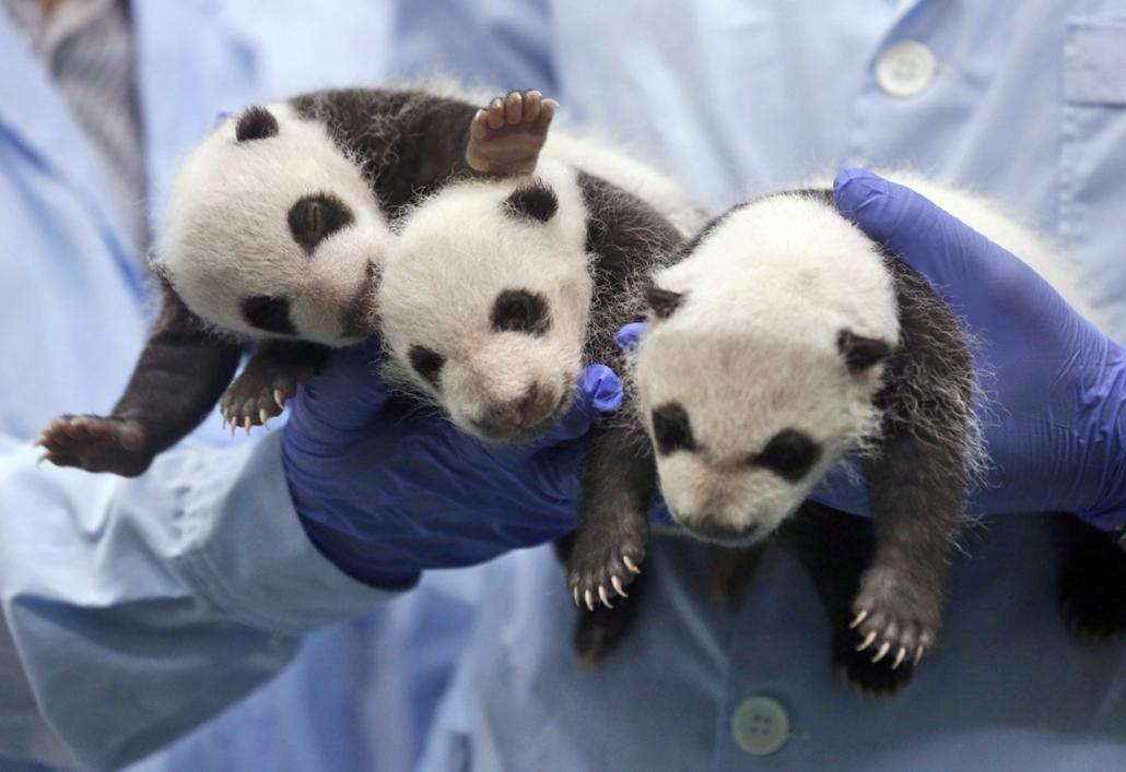 AP!!! szeptember 10-ig!  hét képei, Hármas pandaikrek Kínában, 2014.08.28. Kuangcsou, 2014. augusztus 28. Három egy hónapos óriáspanda-kölyök orvosi vizsgálata a dél-kínai Kanton (Kuangtung) tartományban fekvő Kuangcsou Csimelung Szafariparkjában 2014. au